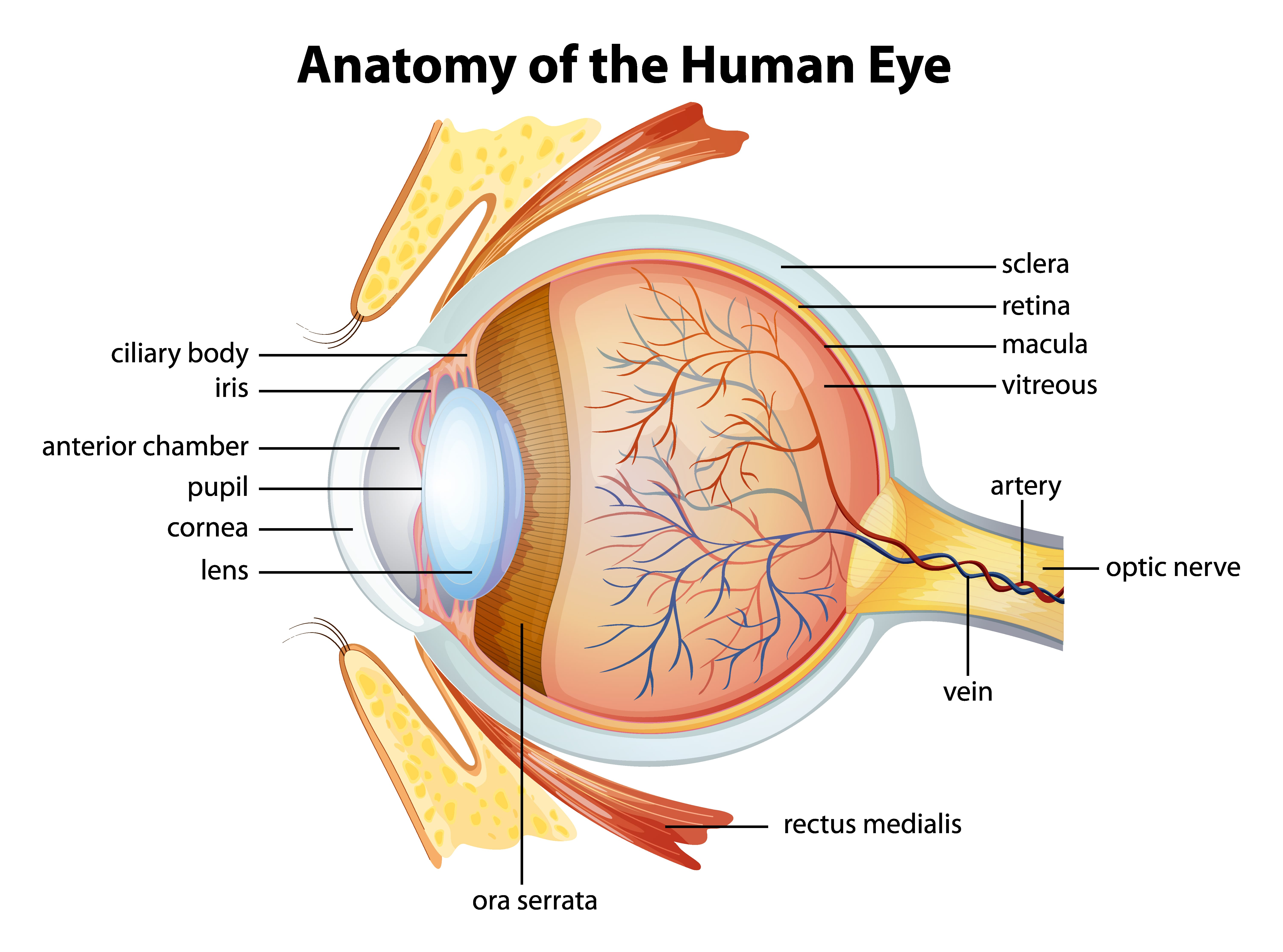 human eye anatomy how vision works