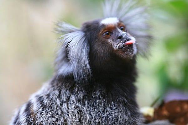 Marmosets' Dialect Can Teach Us a Few Things about Social Behavior