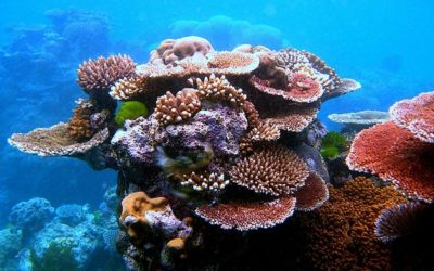 Corals Receive Assisted Gene Flow Procedures to Ensure their Survival