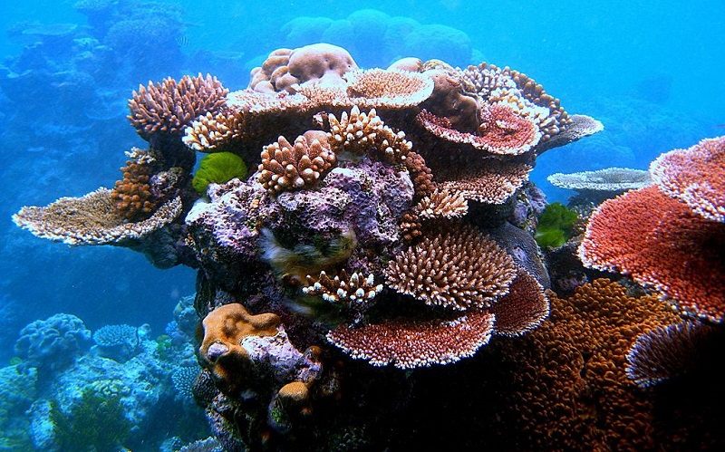 assisted gene flow save coral reefs