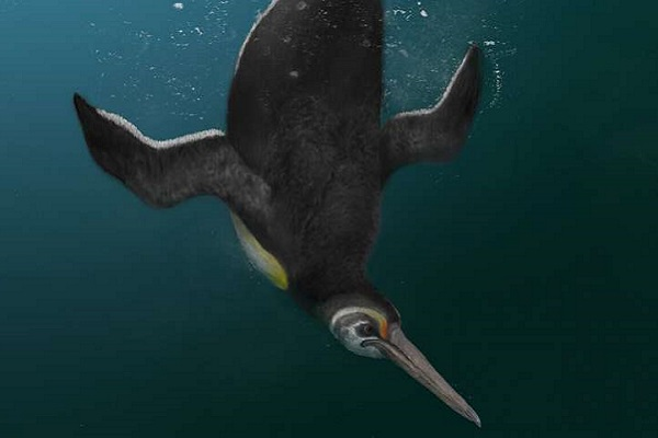 Ancient Penguin Outlives the Dinosaurs, Rules the Seas